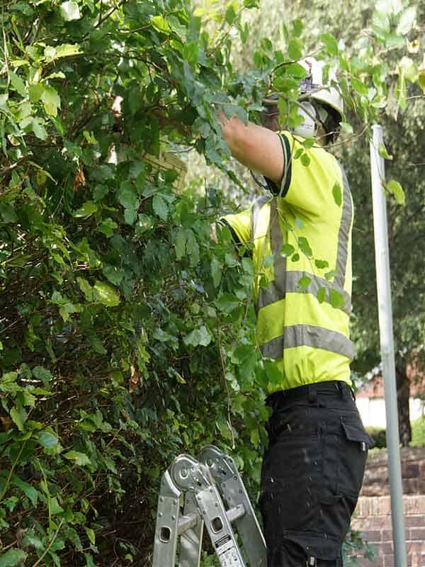 Tree surgeon Paisley trimming a large hedge