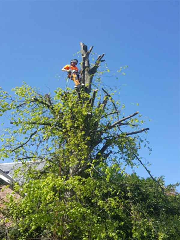 Tree surgeon section felling a tree in Glasgow