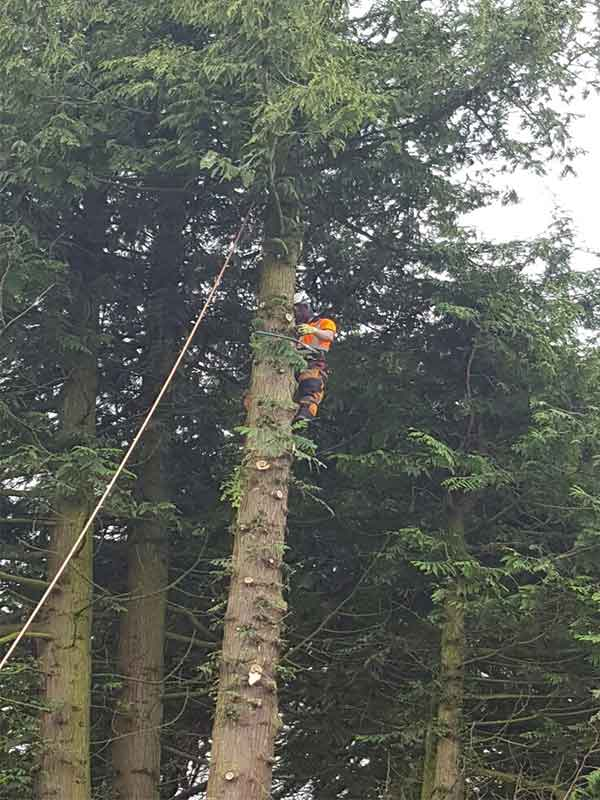 Tree surgeon with ropes and harness preparing to bring down Scots Pine Tree